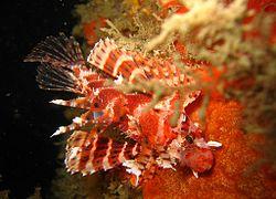 250px dendrochirus brachypterus