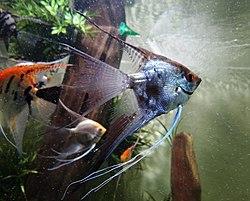 250px escalar o pez angel pterophyllum scalare