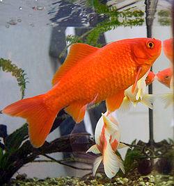 250px goldfish3