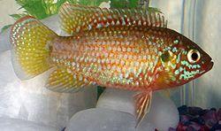 250px hemichromis bimaculatus1