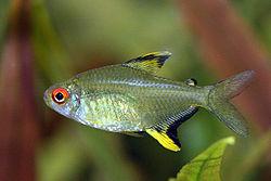 250px hyphessobrycon pulchripinnis