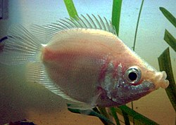 250px kissfish