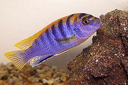 250px labidochromis sp hongi