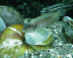 250px lamprologus ocellatus