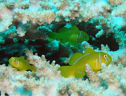 250px lemon coral goby