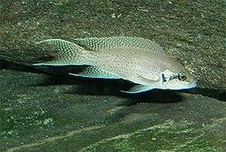 250px neolamprologus brichardi