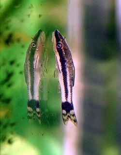 250px otocinclus affinis
