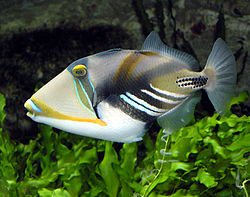 250px picasso triggerfish arp