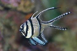 250px pterapogon kauderni en acuario