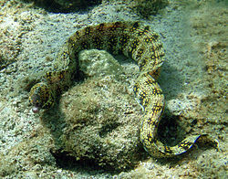 250px snowflake moray in kona