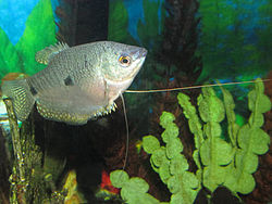 250px trichogster trichopterus 13