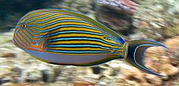 260px acanthurus lineatus flynn reef crop
