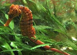 260px hippocampus reidi brasil