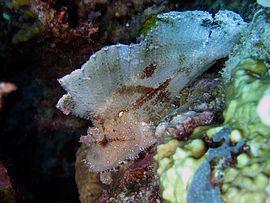 270px taenianotus triacanthus