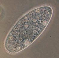 375px paramecium