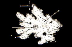 390px amoeba psf