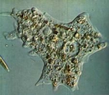 Ameba imagen
