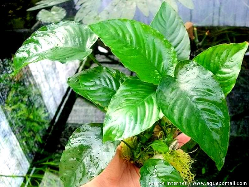 Anubias barteri caladiifolia 1705