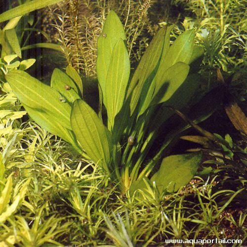 Echinodorus subulatus