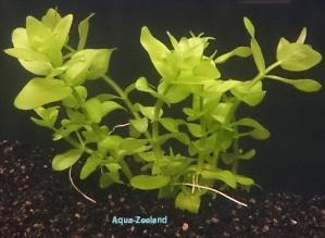 Bacopa caroliniana aquazeeland