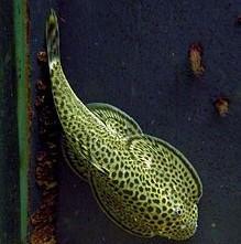 Beaufortia leveretti 1 come algas chino chupa algas borneo locha de torrente locha mariposa