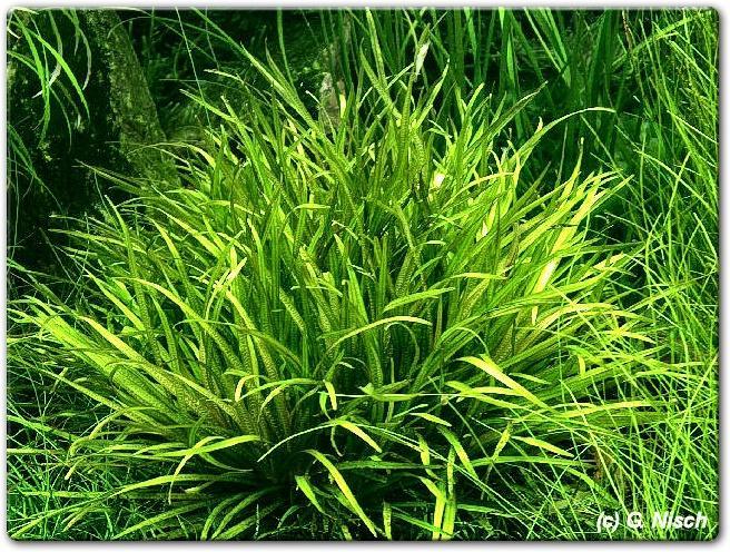 Blixa japonica