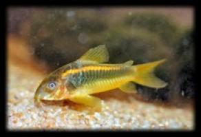 Corydoras sp cf aeneus gold 292