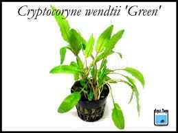 Cryptocorine wendtii green
