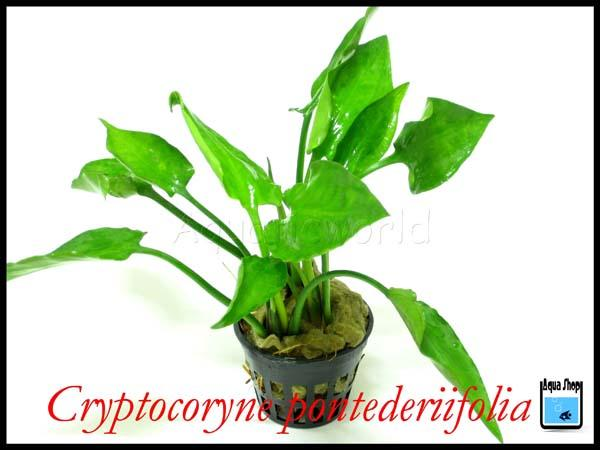 criptocoryne pontederiifolia