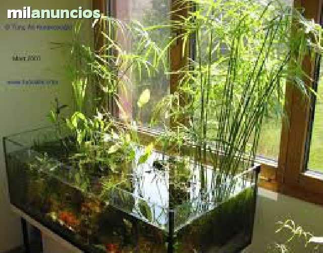 Cyperus alternifolius para acuarios 123068960 2