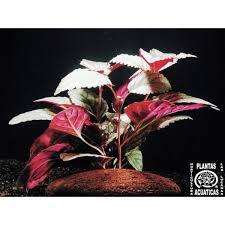 "hemigraphis spec""Silver Leaf"""