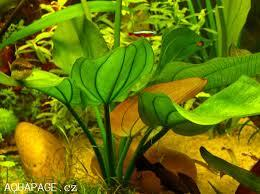 Echinodorus cordifolius ovalis