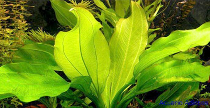 Echinodorus cordifolius sp fluitans