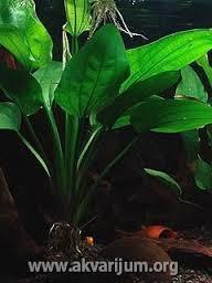 Echinodorus grandiflorus palustre