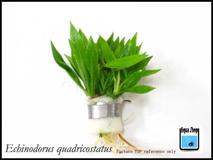 Echinodorus quadricostatus x 5 bundles 163 aquashop 1012 18 aquashop 2