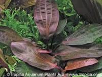 Echinodorus red special