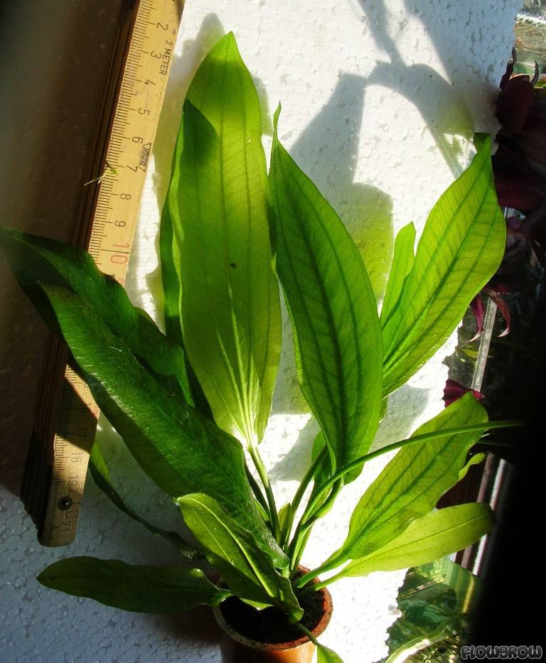 Echinodorus sp muricatus green