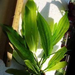 echinodorus muricatus green