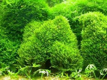 Fissidens zippelianus zipper moss