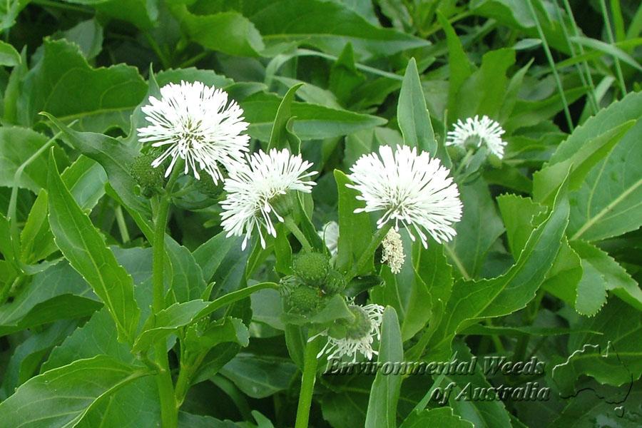 Gymnocoronis spilanthoides5 1