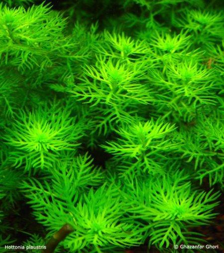 Hottonia palustris androsace aquatica breviglandium palustre hottonia millefolium