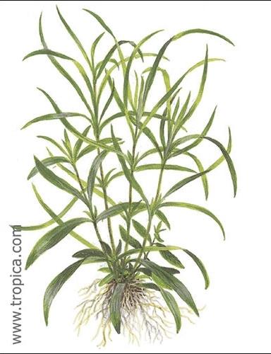 Hygrophila corymbosa aroma tropica zpsliiiyumu