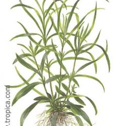 hygrophila corymbosa aroma