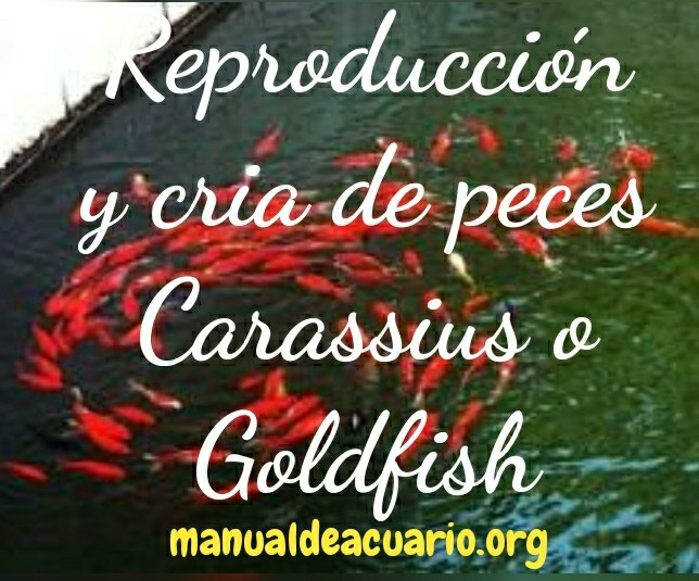 Reproducción de Carassius o Goldfish