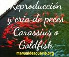 Reproducción de peces Carassius o Goldfish