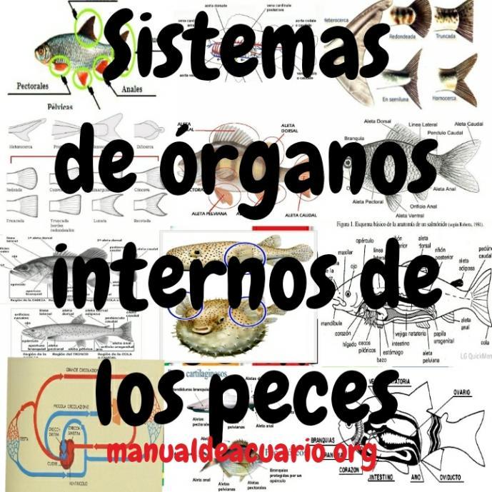 Sistema de órganos internos de peces