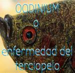 Oodinium o enfermedad del terciopelo
