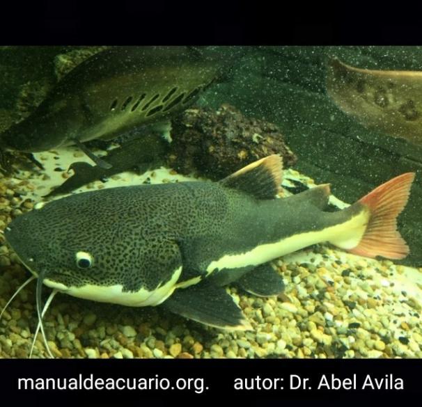 Phractocephalus hemioliopterus, Bagre cajaro, Pez gato, galaxia, cola roja