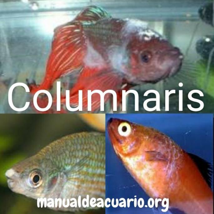 Columnaris, Flavobacterium columnare o Chondrococus columnaris