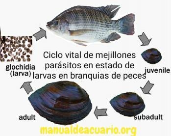 Infestación de larvas de moluscos. en branquias ( glochidium)2